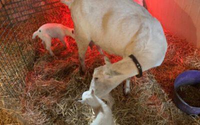 Echt Lente: De Eerste Lammetjes Op De Kraaghoeve